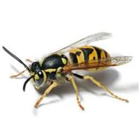 Control de plagas: avispas