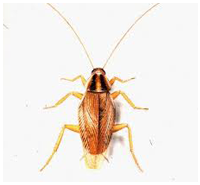 cucaracha3