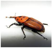Control de plagas: escarabajos