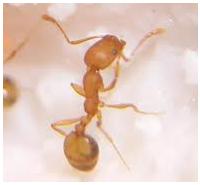 Control de plagas: hormigas