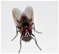 Control de plagas: moscas
