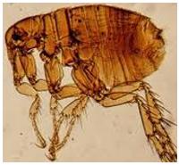 Control de plagas: pulgas