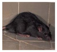 Control de plagas: ratas