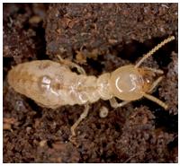 Control de plagas: termitas